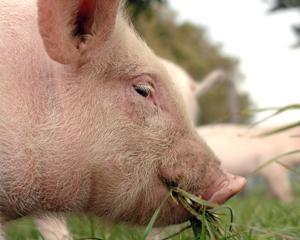 MADR: ATS (Elvetia) a confundat pesta porcina africana cu pesta porcina