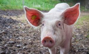 Pesta porcina africana a sters peste un miliard de lei din cifra de afaceri a companiilor de profil