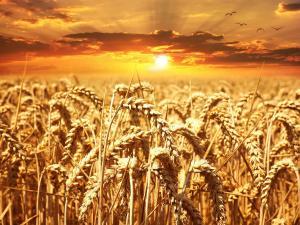 Fermierii romani isi vand recoltele sub pretul pietei din Europa