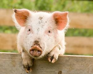 Ministerul Agriculturii da bani pentru crescatorii de pasari si porci