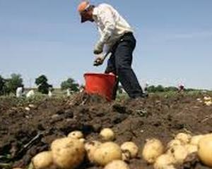 Producatorii de cartofi primesc bani pentru recoltele distruse din 2012