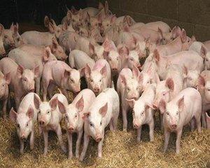 Ministrul Agriculturii: Programul de sprijin pentru carnea de porc va fi implementat