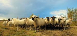 Scenariul pestei porcine se repeta, de data aceasta cu oile