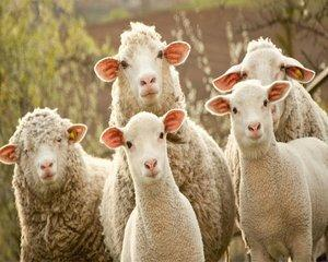 Cum vrea MADR sa-i determine pe romani sa consume mai multa carne de oaie