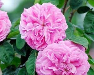 Trandafirul de dulceata: afacerea din Bulgaria ce prinde foarte bine si la romani