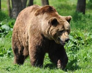 In Romania traiesc mai mult de jumatate din ursii Europei