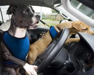 1 aprilie: VW ii invata pe catei sa conduca un Amarok